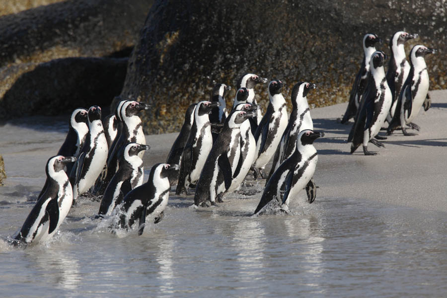 Climate Change and Overfishing Are Steering Juvenile African Penguins towards Fatality: Warns New Study
