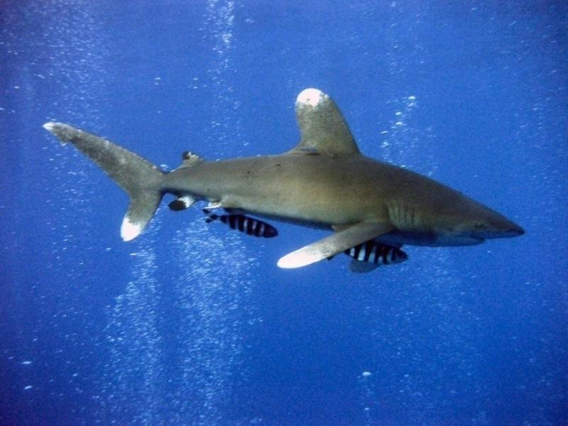 Oceanic Whitetip Shark Species