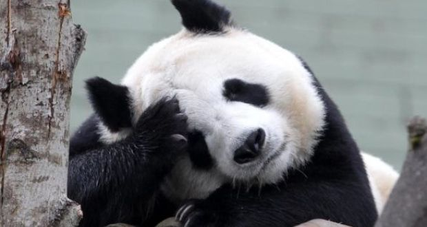 Study explains why the panda is black and white