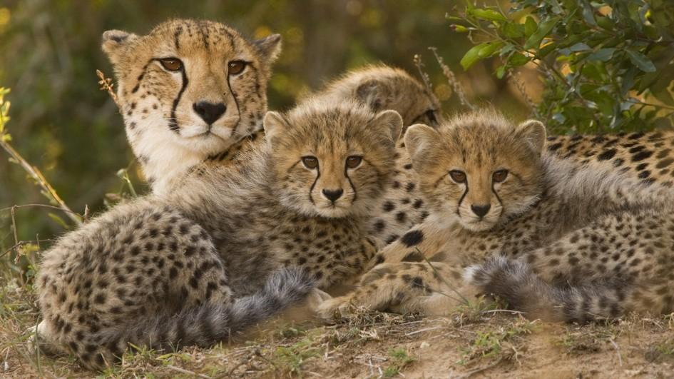 The Fastest-Running Creature Headed For Extermination; Only 7,100 Cheetahs Left