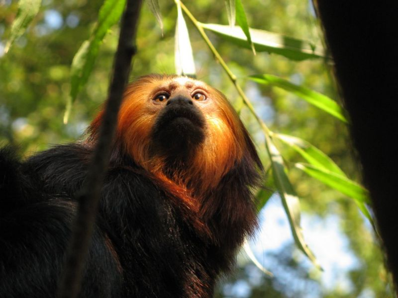 More Than 60% Primate Species Are Vulnerable To Extinction: Primatologists Warn