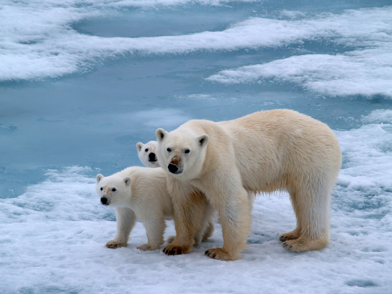 We Have To Bid Adieu to Polar Bears Soon Due To Abnormal Temperature in Arctic; Scientists Warn