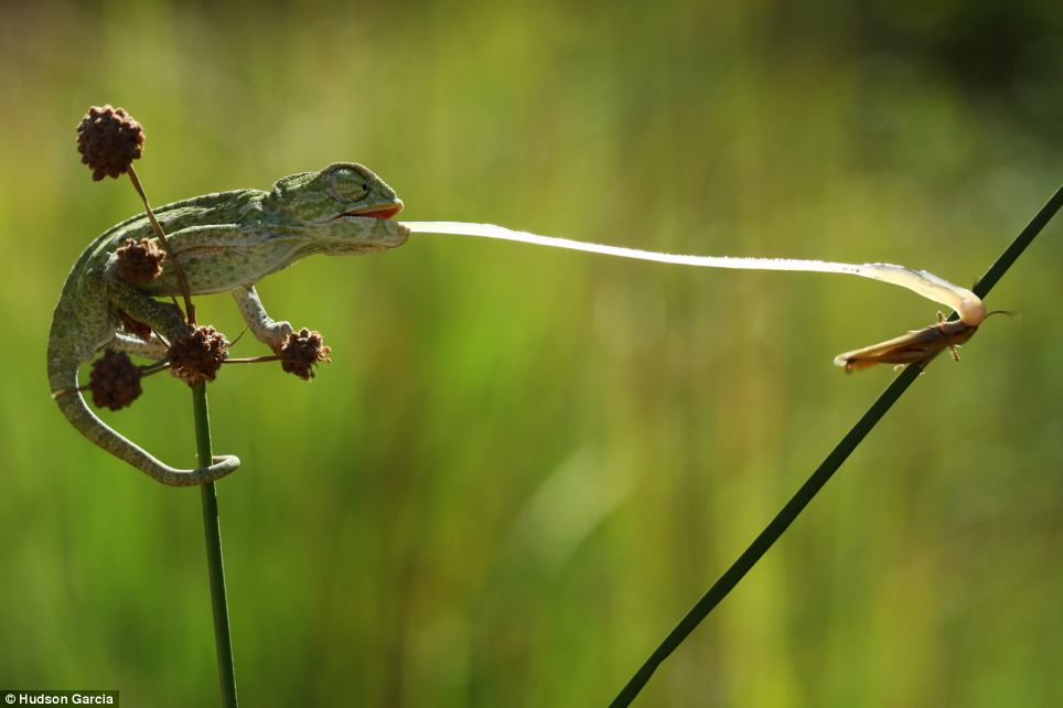 Whip-Like Tongue and Catchiest Spit Helps Frog for Prey Catching
