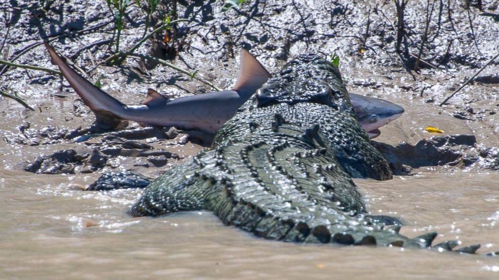 allegator eat sharks