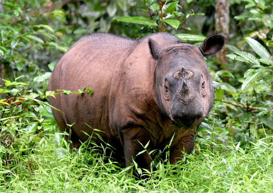 endangered, endangered species, Investigation, research, Sumatran Rhinoceros