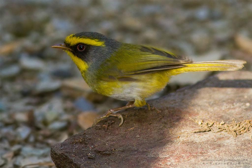 Bush warblers