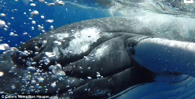 The giant marine mammal whale protected the researcher from shark's attack.