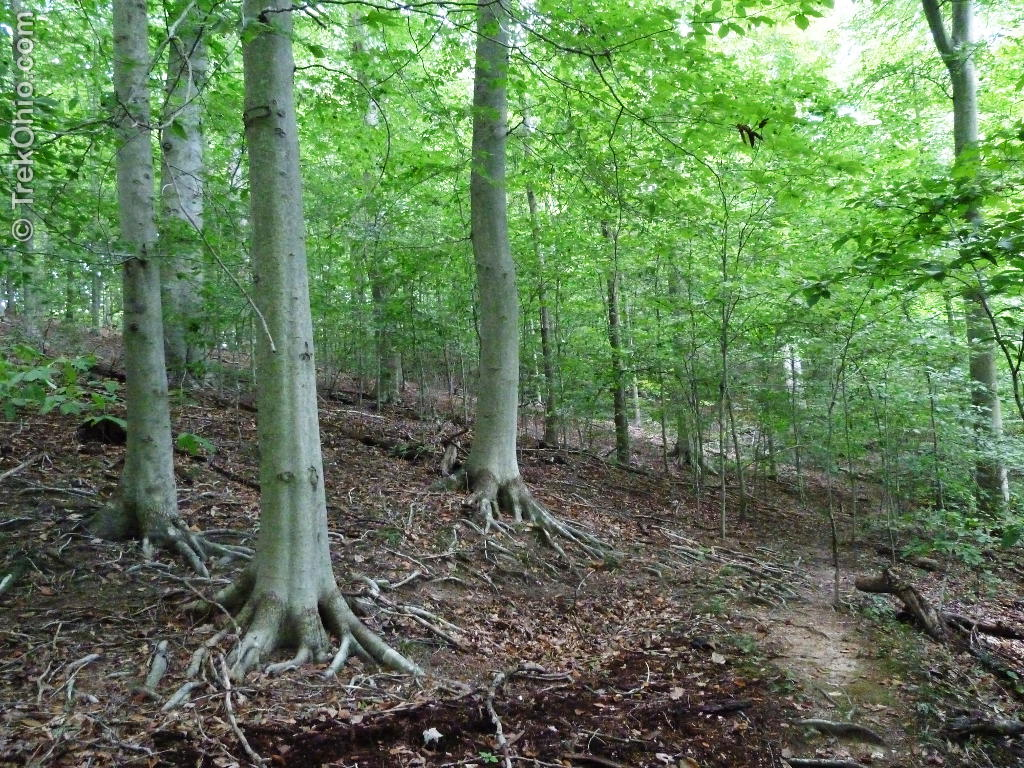 beech forest ecosystems There are many facets to beech forest ecology, which are all complexly  that  cause a disruption to an ecosystem (eg, windfall) causing a change in resources .