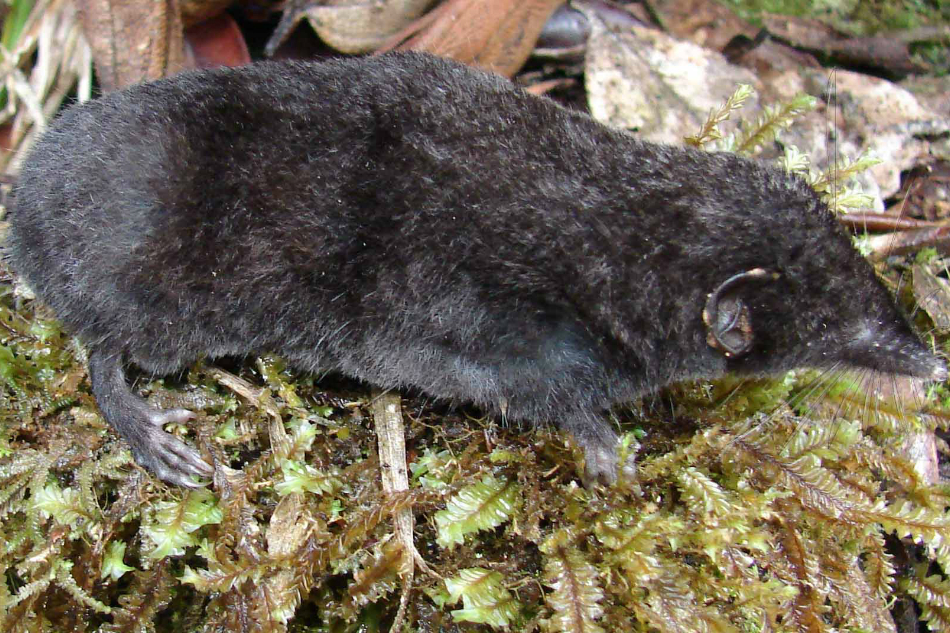 Researchers found new species of earthworm-eating shrew in Philippines