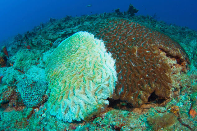 A new mysterious disease has engulfed half of the coral species from Florida Keys